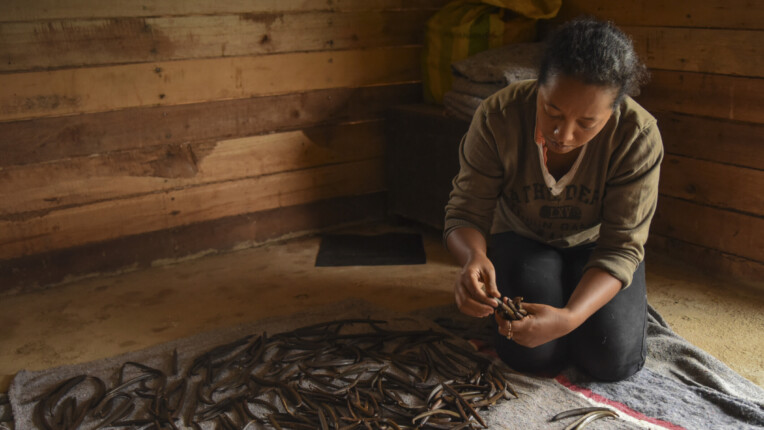 Madame Félicité sorts her vanilla beans and prepares them to be curated.